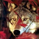 autumnwolf