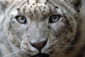snowleopardzoopic