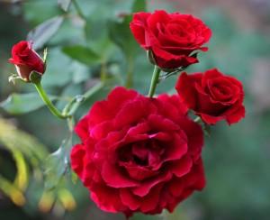 redrosebush